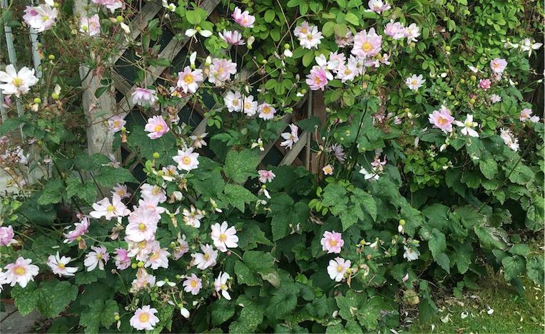 michaelmas-daisies